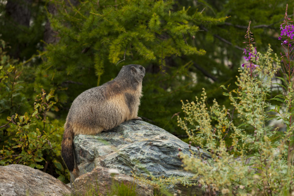 Marmottes_01