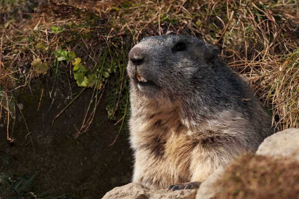 Marmottes_02