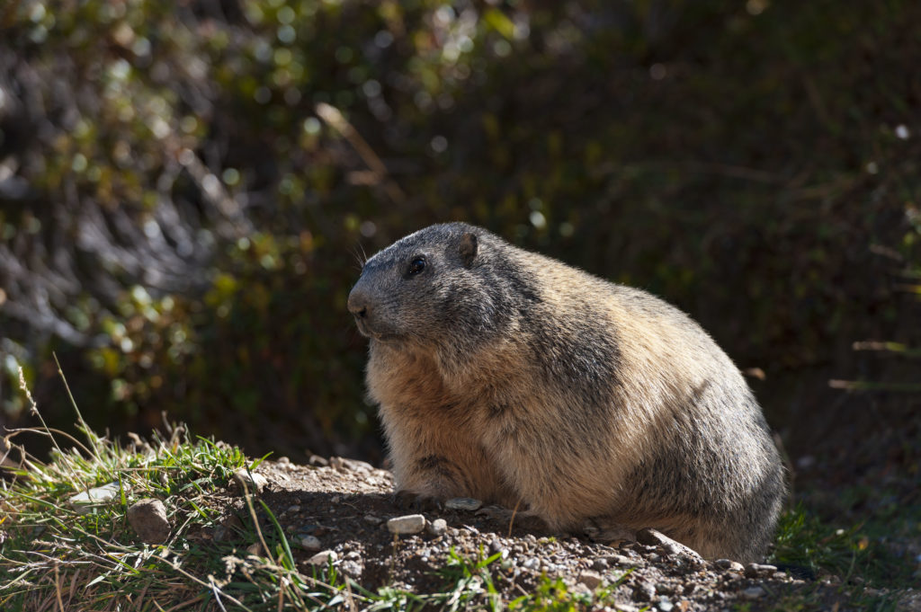 Marmottes_04