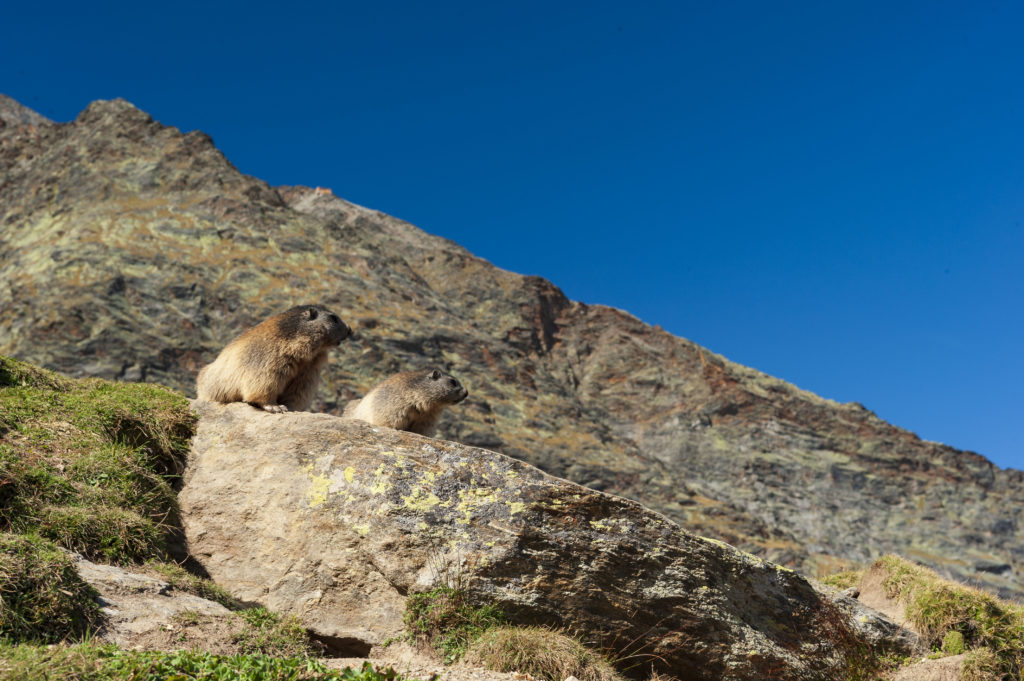 Marmottes_05
