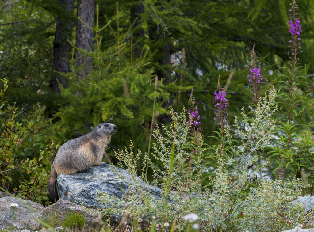 Marmottes_06