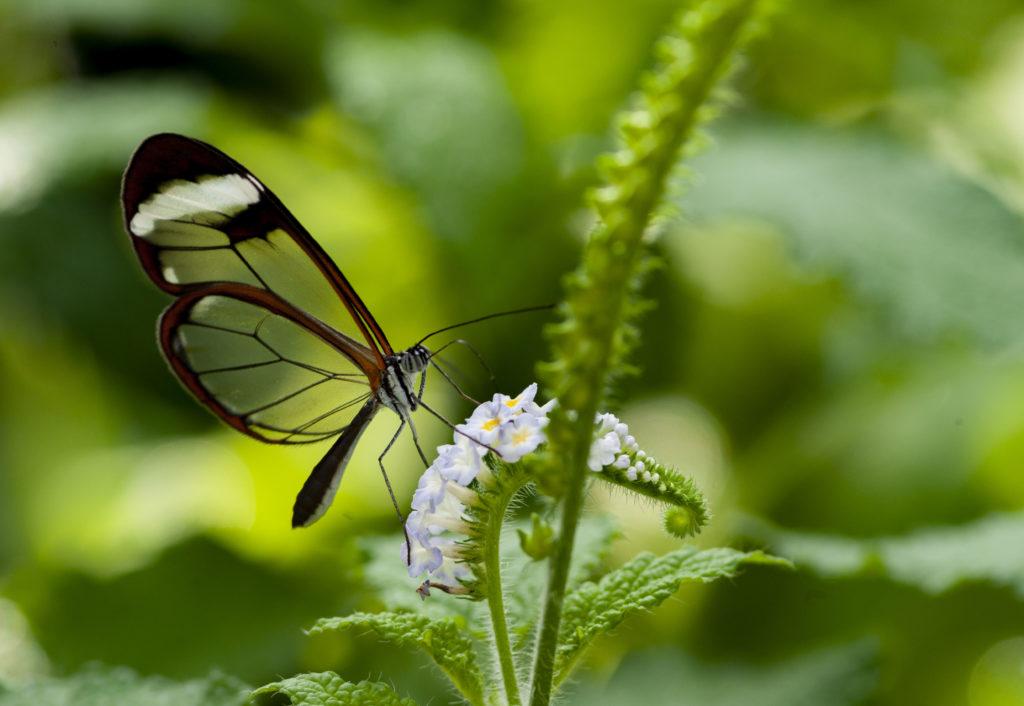 Papillon_06