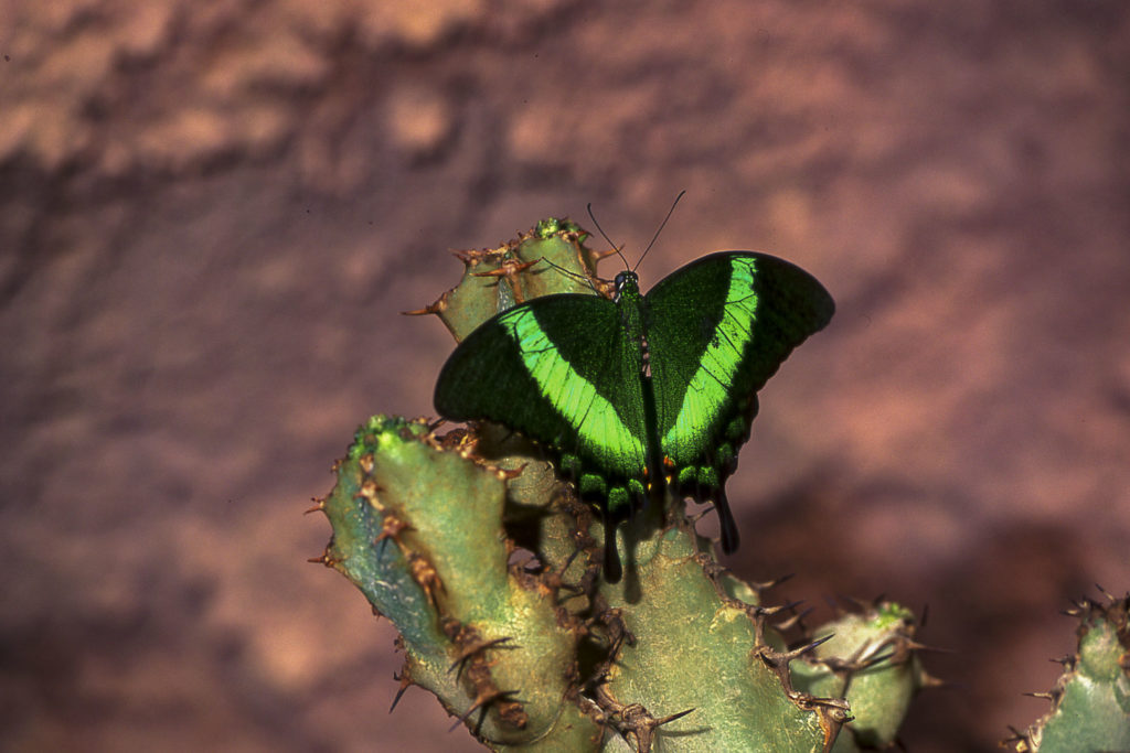 Papillon_07